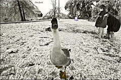 Loosey Goosey - Revisited (StaticSparks.com) Tags: staticsparks nikon d50 wide angle murphy park springdale ar arkansas lucis photohshop theworks goose 10mm arkansasphotographer photographerinnorthwestarkansas josephsparks