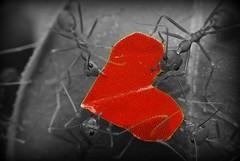 Share the Love! (etharanz - purplestain.biz) Tags: macro heart vday ants valentines heats macrophotosnolimits