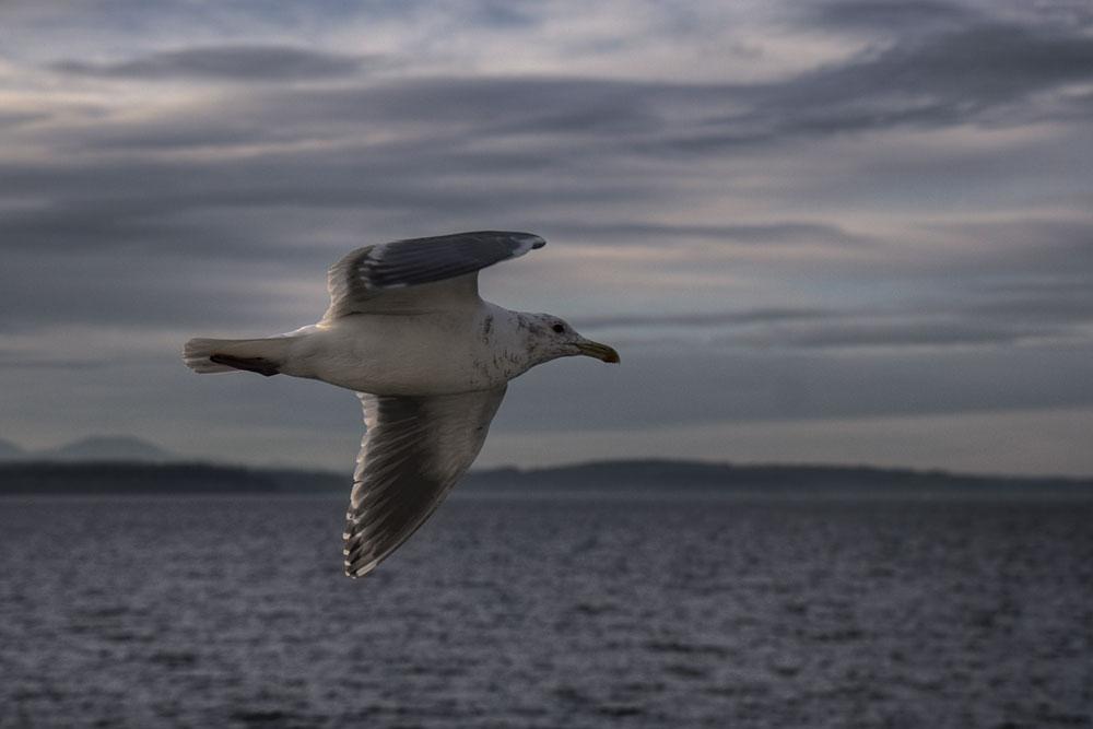 seagull_7614