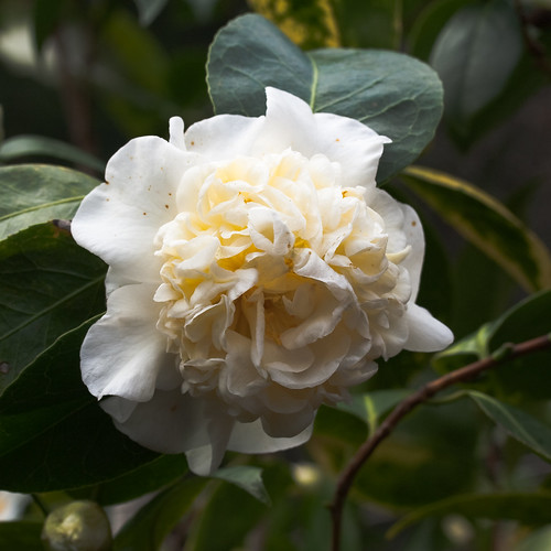 A camellia hybrid, created by John Wang, has a rare yellow tint