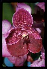 Vanda Orchids (Christian Demma) Tags: canon eos 400d canoneos400d orchidea orchidee vanda orchids orchidsvanda christian demma christiandemma fiore fiori