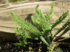 Stair fern (kshibano) Tags: california marin rodeobeach