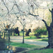 Cherry Blossoms by *Peanut (Lauren)