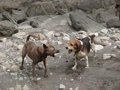 having fun (Yugan Dali) Tags: dog beagle stream taiwan brindle  wulai taiwandog yumin  taiwanaboriginedog byajing  taiwantugo
