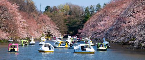 Los patos de Inokashira. Sakura (1)