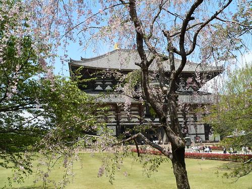 Japanische Kirschblüte 6