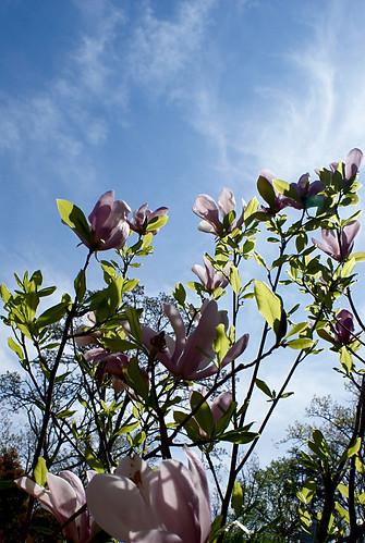 jane magnolia