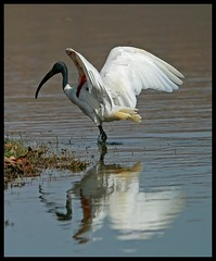 A Black Headed Ibis (Threskiornis melanocephalus) strikes a pose in Ranthambore National Park, India (Saran Vaid) Tags: india white lake black bird nature water beautiful fauna bill fishing asia wildlife indian birding beak feathers large reserve sigma waterbird best safari ibis exotic national tropical common habitat soe sanctuary blackheadedibis threskiornismelanocephalus rajasthan headed ranthambore birdwatcher potofgold ranthambhore wadingbird ranthambhor bej mywinners platinumphoto avianexcellence canoneos450d theunforgettablepictures abovealltherest sigma150500 vosplusbellesphotos slbwading sigma150500mmf563dgoshsm