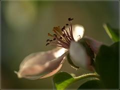 antennas (Pharmacist's Daughter) Tags: flower macro spring dof bokeh anatomy makro dunja sigma150mmf28 tuak pranici