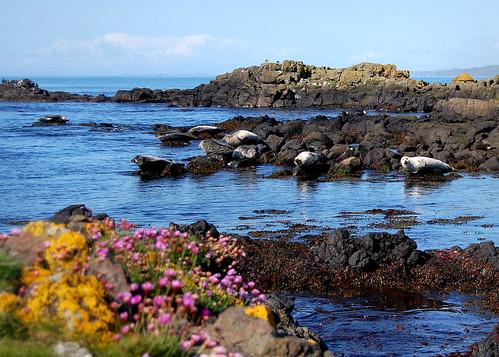 Seals in Machrihanish