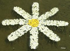 TEMPS DE FLORS - GIRONA 31 (VRNU) Tags: margaritas whiteflowers tempsdeflorsgirona vrnu misfavoritosinvitacin floresporlapaz andromeda50 giveme5awardthenext5pictures buildyourrainbowpurple