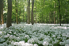 Ramsons in the forest in May (Ingrid0804) Tags: wood trees forest denmark spring may ramsons whiteflowers bogns ramson blueribbonwinner mywinners abigfave aplusphoto theunforgettablepictures strongsmell theperfectphotographer