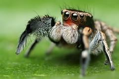 Adult Male Habronattus hirsutus (Mundo Poco) Tags: macro canon spider arachnid jumpingspider salticid salticidae mpe65mm eos450d rebelxsi habronattushirsutus