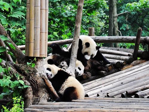 Panda 088