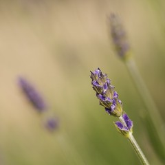 Lavender Blue (Choc Doc) Tags: blue macro lavender mywinners betterthangood