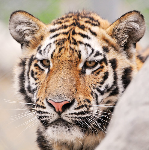 Another tiger portrait