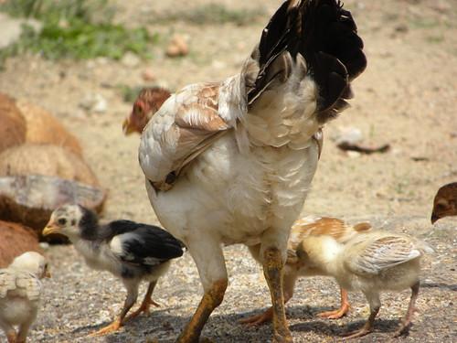 Punggung Ayam lah pulak..