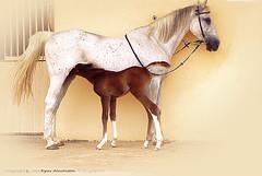 Horse 2 (إياس السحيم) Tags: 2 horse eyas