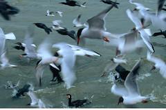KOR_3402 (Florian Moellers) Tags: k birds meer feeding many v cormorant eel flockofbirds aal fishery fischfang kormoran opportunism vogelschwarm bycatch opportunismus vgel nahrungssuche beifang niederlandethenetherlands commericlafishing volendamijsselmeer kstenfischer