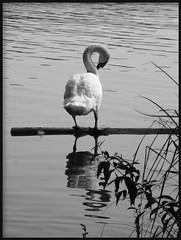 **Toelettatura** (Danielina) Tags: bw lake nature animal lago blackwhite natura bn varese bianconero animale lavaggio pulizia cigno naturalmente
