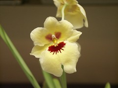 Miltonia Zorro Yellow Delight has Miltoniopsis Habits