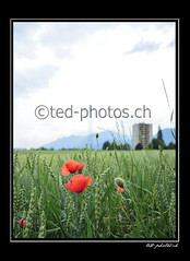 14242 (www.ted-photos.ch) Tags: orange fleur plante rouge suisse champ immeuble valais coquelicot flore bl massongex