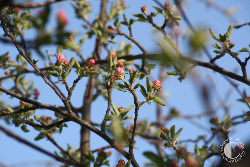 119-apple blossoms3
