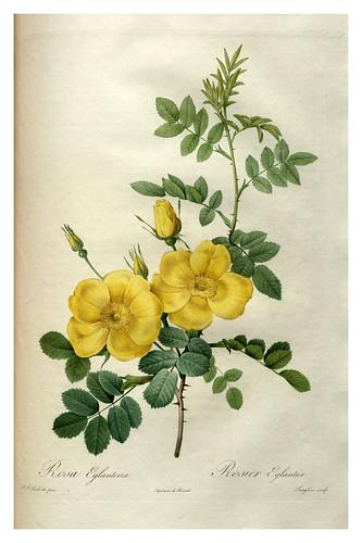 009-Les roses 1817-1824- Pierre-Joseph Redouté