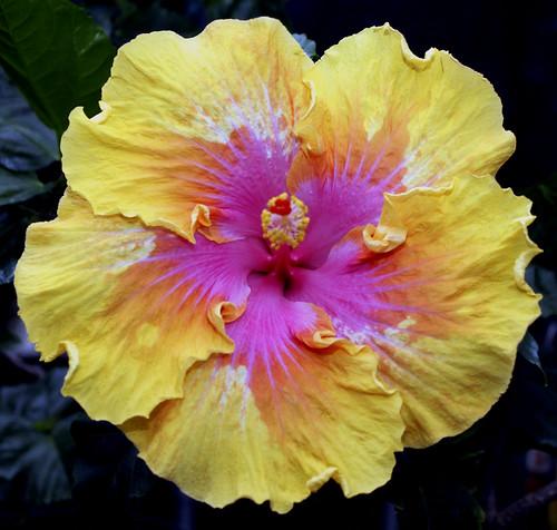 05.10.10 065 Hibiscus