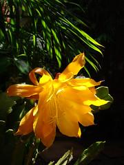Epiphyllum species (mondomuse) Tags: venice flower yellow cacti losangeles succulent spring southerncalifornia cactaceae hybrid epiphyte epiphyllum orchidcactus droughttolerant epiphyticcactus 2011 phyllocactus studiogarden