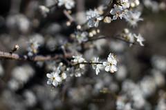 Flowers (MD_Photographie) Tags: flowers fleurs canon eos 50mm cerisier 1100d