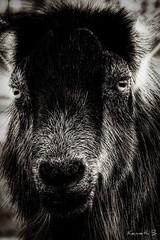 Random Goat (Kenneth B) Tags: street bw raw random goat tonemapped