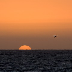 tern, diving (PijO.) Tags: ocean sunset sea sun bird beach south hunting australia diving adelaide tern somerton