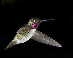 male_annas_hummingbird5 (patspacific1) Tags: bird highspeedphotography maleannashummingbird