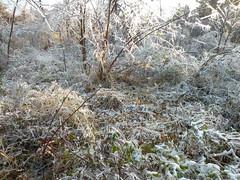 DSCN4520swamp milkweed (Aubunique) Tags: icestorm treesdamaged worldpeacewetlandprairie january2009 swampmilkweedpod fayettevilear hackberrytreedown dovehabitat
