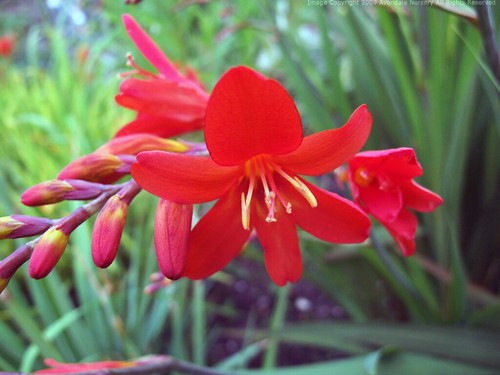 CROCOSMIA 'Walberton Red'