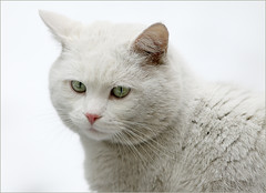 W.O.W. (AnyMotion) Tags: portrait pet cats white nature animals tiere stranger visitor rs 2009 katzen whitecat whiteonwhite kater besucher eisbär anymotion icecat portraitaufnahmen canoneos5dmarkii 5d2 vosplusbellesphotos