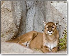 Mountain Lion (Romair) Tags: nature animals cat nikond70 wildlife cougar mountainlion palmdesert livingdesert blueribbonwinner supershot specanimal specanimals platinumphoto onlythebestare goldstaraward