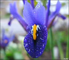 Monday Blues (☜✿☞ Bo ☜✿☞) Tags: iris flower macro nature garden droplets flickr mondayblues canong9