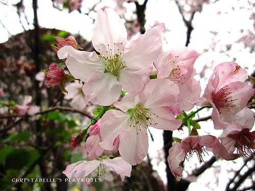 天元宮櫻花9