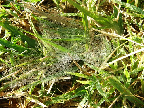 tela de araña con rocio 3