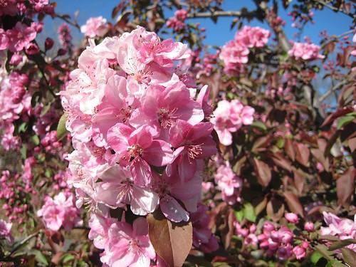 **Flowering Crabapple