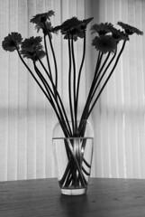 Light Through The Vase (gherringer) Tags: flowers bw utata vase 3mp utata:project=epigonasudek