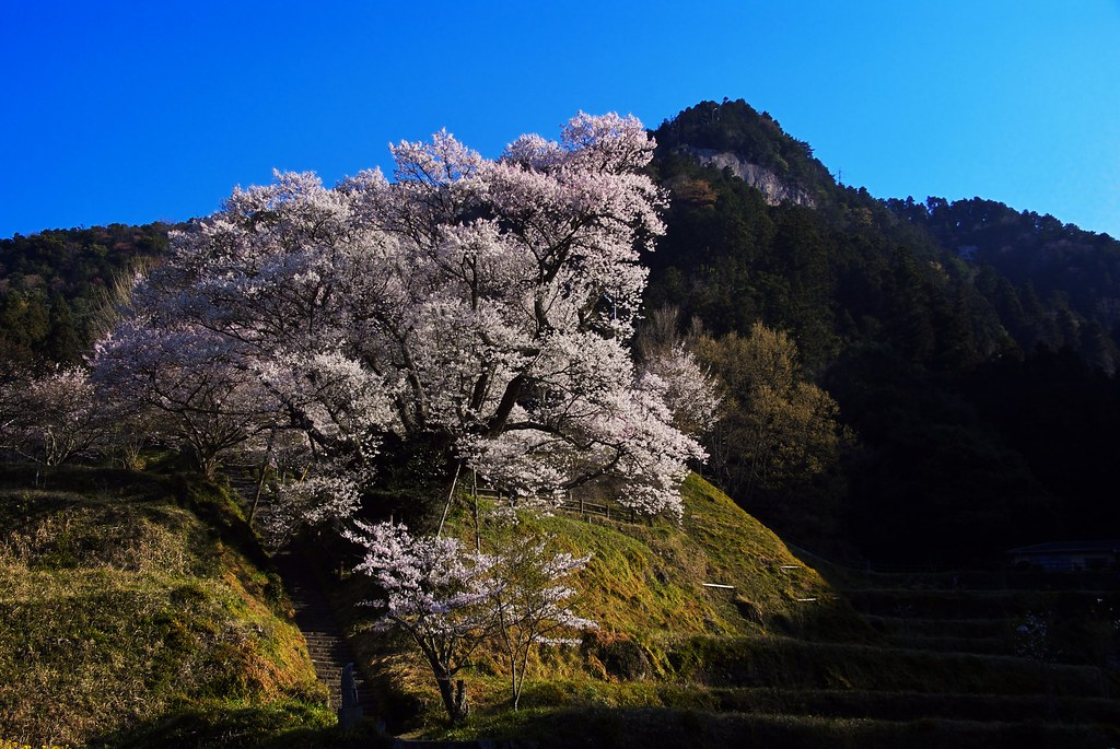 A cherry tree of 900 years old