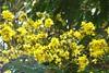 Peltophorum (Indianature s) Tags: mumbai peltophorum copperpod rustyshieldbearer indianature bycullazoo snonymous