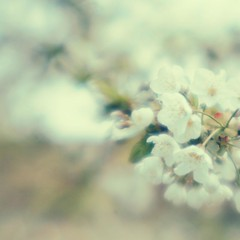 (LauraKiora) Tags: white blur lensbaby easter dof blossom quote muse plastic