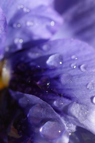 purpledrop4