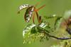 itch (1600 Squirrels) Tags: california usa photo lenstagged flora wildlife 1600squirrels eastbay sfbayarea nocal alamedacounty sanleandro xsi poisonoak 3x2 lakechabot ebrpd toxicodendron diversilobum canon70300f456 450d
