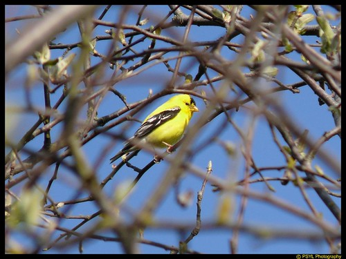 American Goldfinch (Carduelis tristis)