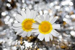 ...each man kills the thing he loves... (zio paperino) Tags: flowers white nature yellow geotagged nikon bokeh natura d90 ziopaperino mygearandme mygearandmepremium mygearandmesilver mygearandmegold